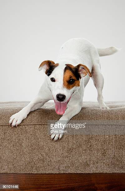 Jack Russell Terrier dog bowing