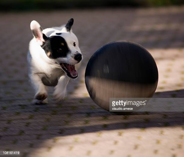 Jack Russell Terrier Dog Chasing Ball. Color Image