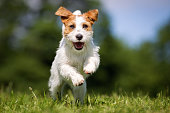 Purebred Jack Russel Terrier dog outdoors in the nature on grass meadow on a summer day.