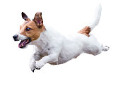Cut-out image of Jack Russell Terrier