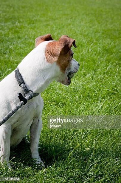 Jack Russell Terrier chien avec ballon dans la bouche