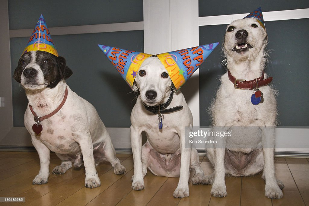 Jack Russell terrier having birthday party : Stock Photo