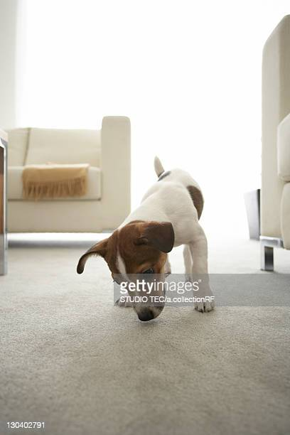 Jack Russell Terrier in Living Room