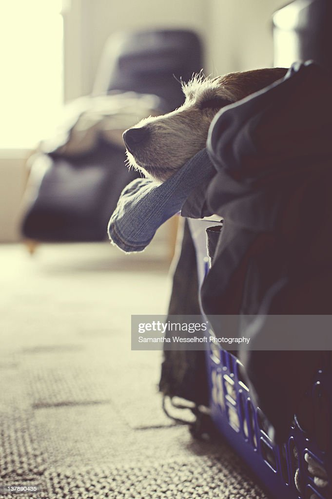 Jack Russell terrier in the laundry : Stock Photo