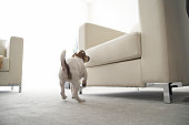 Jack Russell Terrier Jumping on Armchair