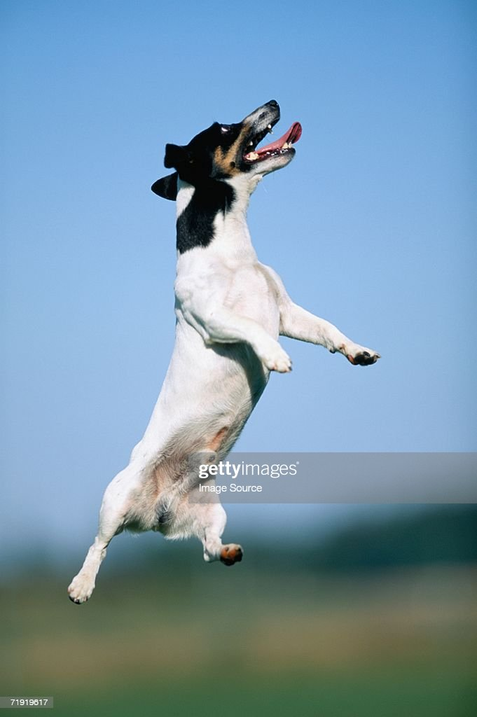 Jack russell terrier jumping : Stock Photo