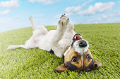 Jack Russell Terrier Lying Upside Down on Grass