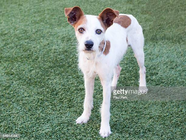 Jack Russell Terrier mix dog