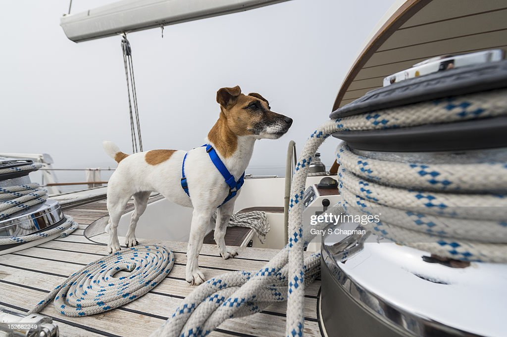 Jack Russell Terrier on deck of 62 ft sailboat : Stock Photo