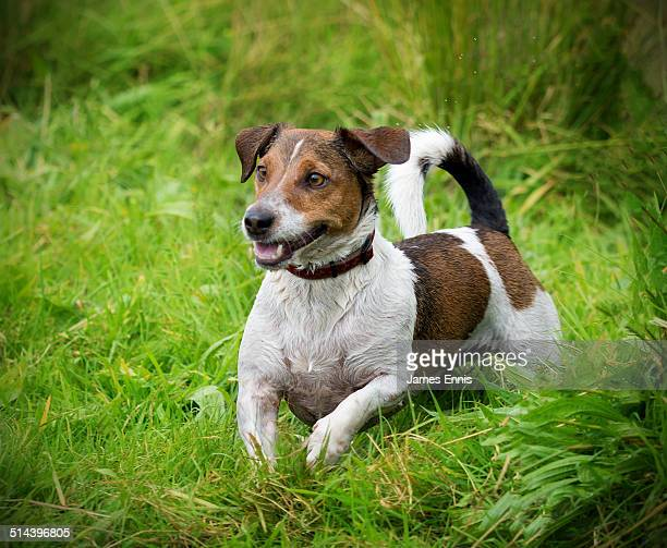 Jack Russell Terrier playing in a field