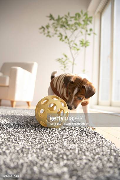 Jack Russell Terrier Playing with Ball