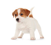 Playful Jack Russell Terrier puppy isolated on white background. Front view, standing, playing.