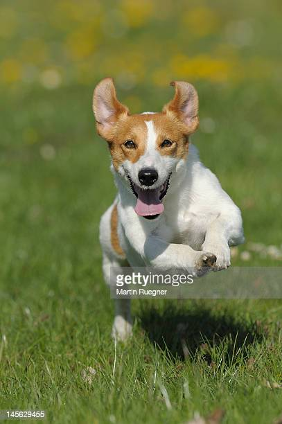 Jack Russell terrier running in a meadow