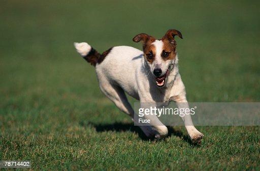 Jack Russell Terrier Running in Grass