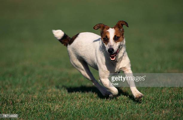 Jack Russell Terrier Running in Grass