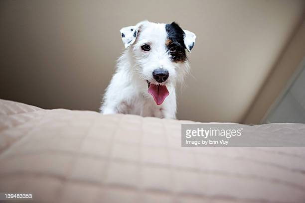 Jack Russell Terrier sitting on bed