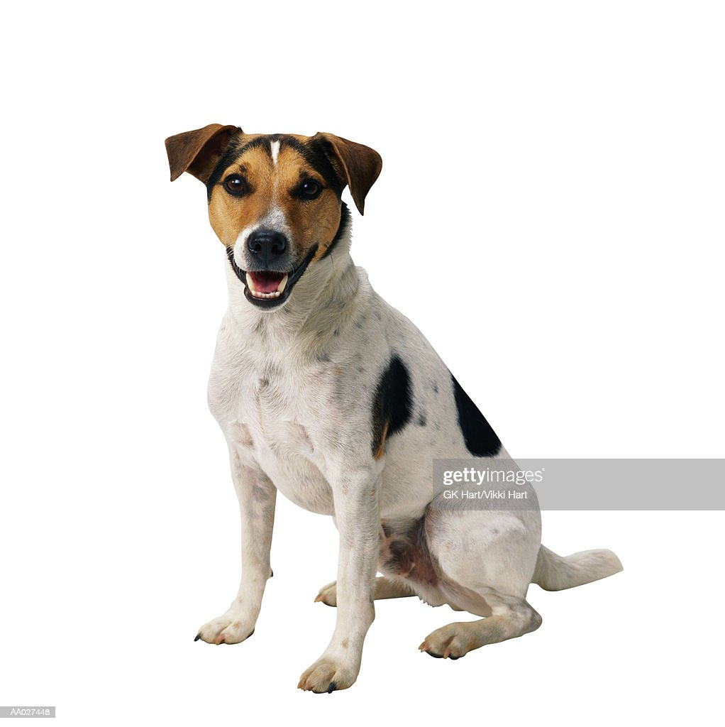 Jack Russell Terrier Sitting : Stock Photo
