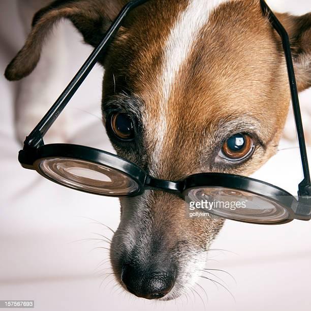 Jack Russell Terrier mit geek Brille