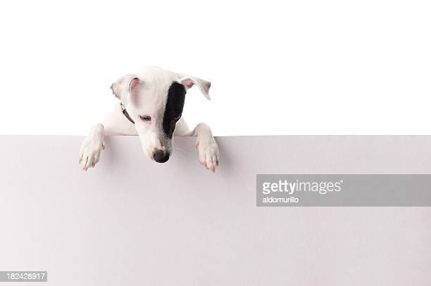 Jack russell with a sign