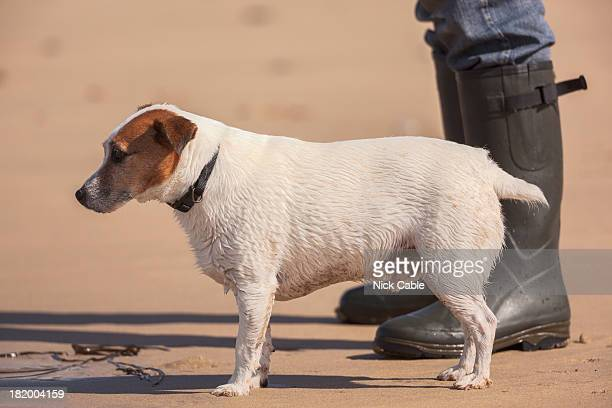 Jack Russell with owner in Cornwall, England