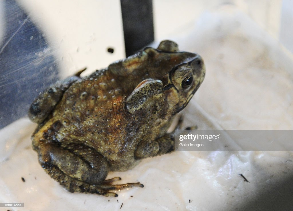 Jack, the travelling toad, in his special transport case on December 21, 2012 in Cape Town, South Africa. The Asian Common Toad jumped in a candle stick and travelled all the way from China to South Africa. Jack will be transported from Cape Town to Johannesburg where he will be moved to the Montecasino Bird Gardens.