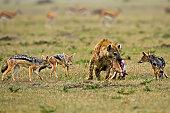 jackals surround hyena