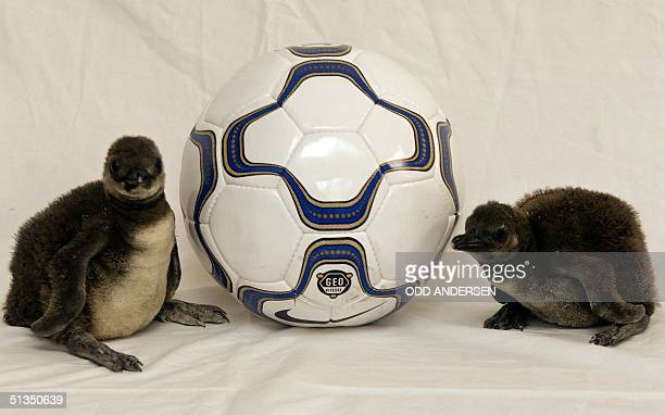 Jackass baby penguins Posh and Becks pose with a soccer ball 28 March 2002 during a photocall at the London Zoo With little over 60 days until...