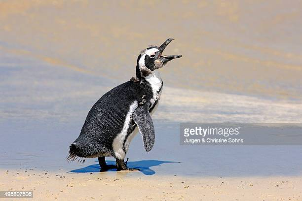 Jackass Penguin, Black-footed Penguin or African Penguin -Spheniscus demersus-, juvenile, calling on the beach, Boulder, Simon's Town, Western Cape, South Africa