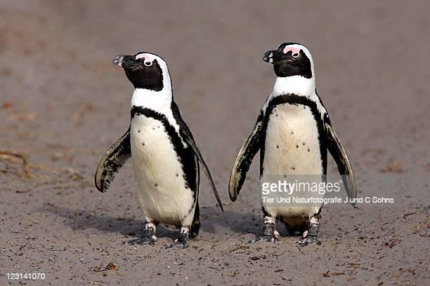 Jackass Penguin (Spheniscus demersus)