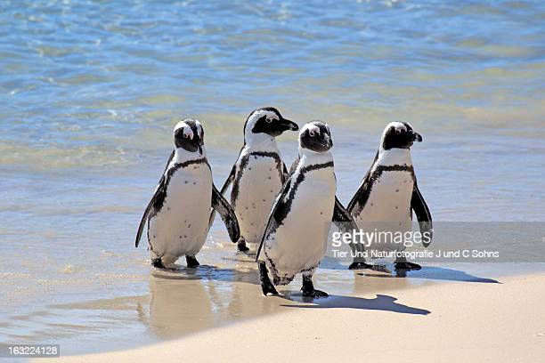 Jackass penguin