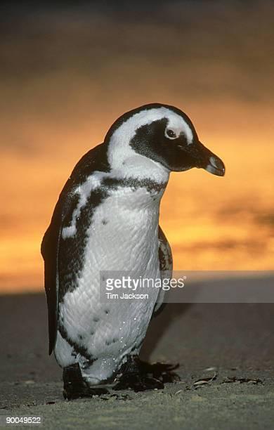 jackass penguin: spheniscus demersus  dawn portrait.   cape town, south africa
