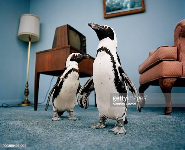 Jackass penguins in living room, ground view