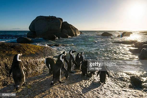 Jackass Penguins -Spheniscus demersus-, Boulders Beach, Simon's Town, Western Cape, South Africa, Africa