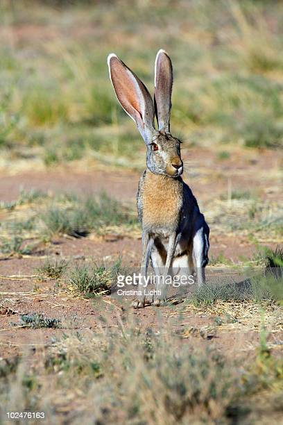 Jackrabbit, Arizona