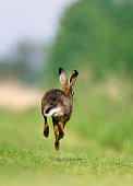 A Jackrabbit of Brown hare (Lepus europeus) jumping and running