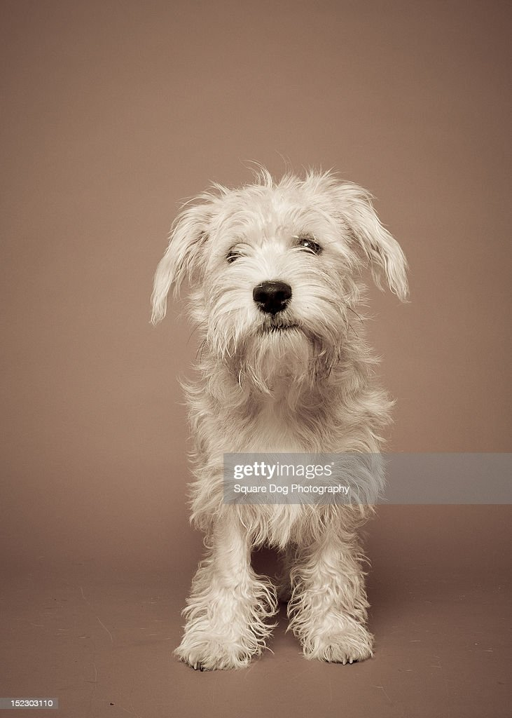 Jackson Terrier : Stock Photo