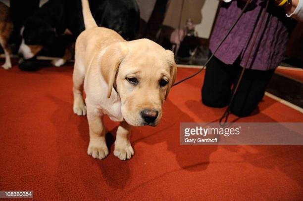 Jacob a Labrador Retriever attends American Kennel Club Announces Most Popular Dogs for 2010 at American Kennel Club Offices on January 26 2011 in...