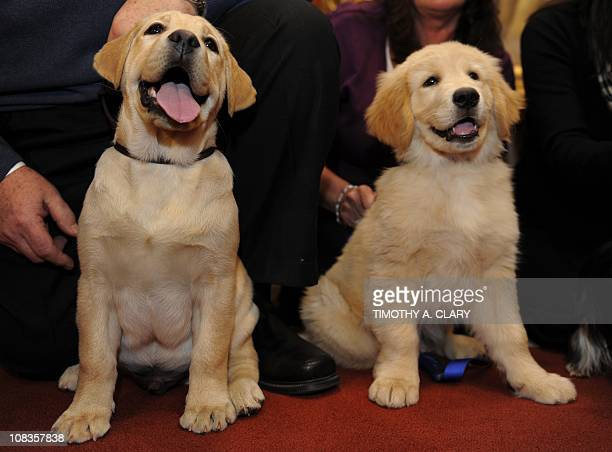 Jacob the Labrador Retriever and Rex the Golden Retriever pose for the press during a news conference at the American Kennel Club January 26 2011 to...