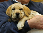 Jacob the Labrador Retriever poses for the press during a news conference at the American Kennel Club January 26 2011 to announce the top ten most...