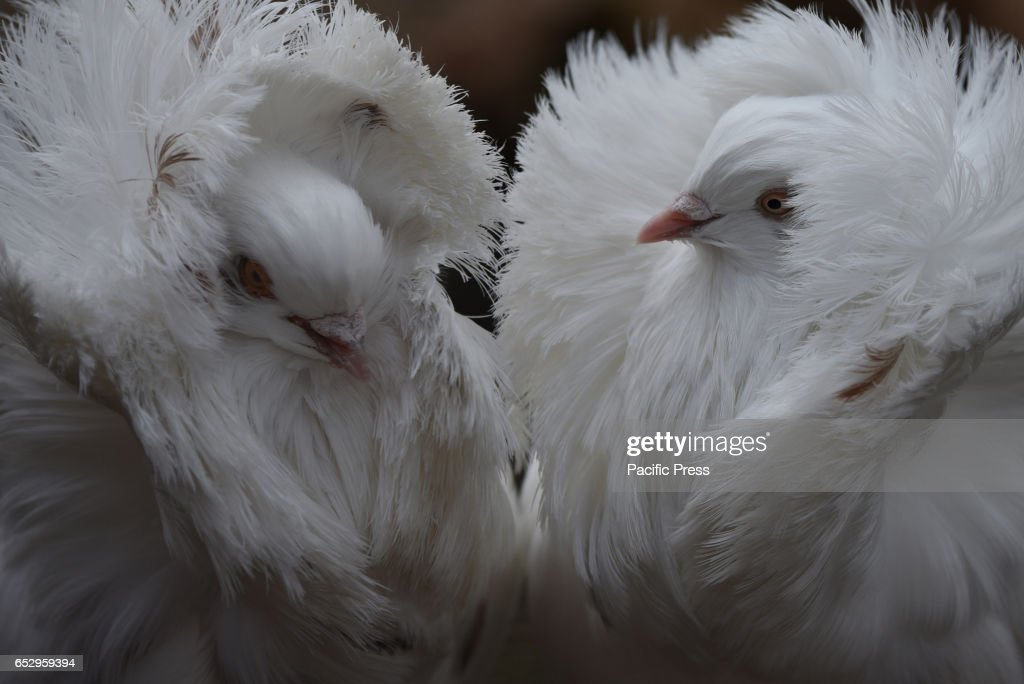Jacobin pigeons pictured with their feathered hoods agitated by wind at Madrid zoo, where the strong gusts of wind reached 65 kilometers an hour during the afternoon hours.