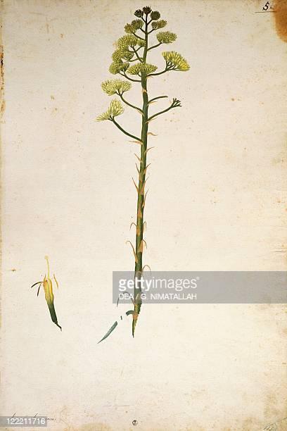 Jacopo Ligozzi Century plant flower