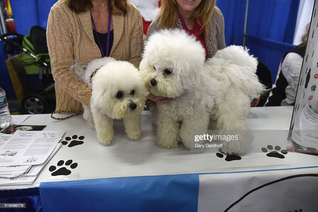 Jada, a one year old female Bichon Frise (L) and Lola, a four and a half year old Bichon Frise attend the 7th Annual AKC Meet The Breeds at Pier 92 on February 13, 2016 in New York City.