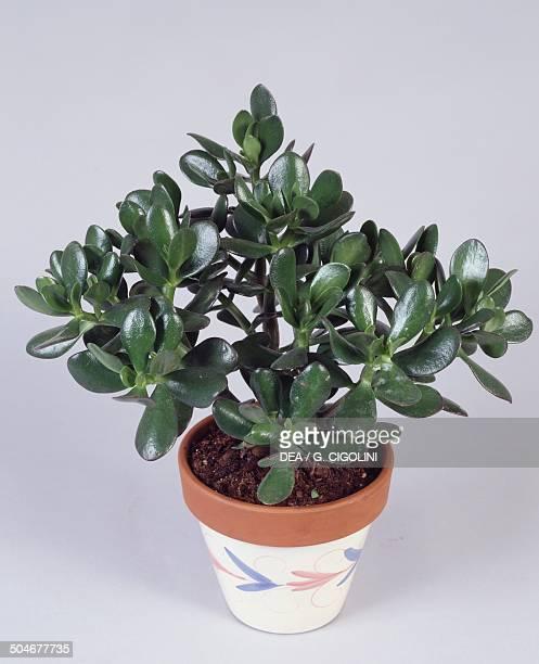 Jade plant Crassulaceae