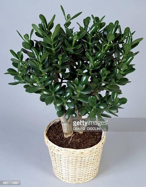 Jade plant Friendship tree or Money tree Crassulaceae