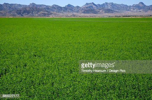 Jagged mountains form the backdrop for a field of alfalfa in autumn, near Ehrensburg : Stock Photo