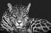 Jaguar Portrait schwarz weiß
