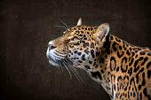 Jaguar Portrait Profil