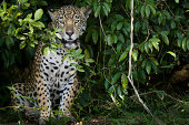 A jaguar,  a young animal peering out from the foliage in the forest in Brazil