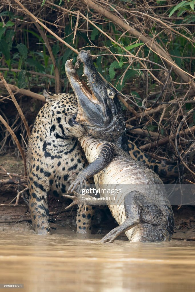 A jaguar ambushes a giant jacare caiman high up on the Three Brothers River in the Pantanal in Mato Grosso, Brazil. The cat wrestled with the reptile for over twenty minutes in a death struggle witnessed by photographer Chris Brunskill just after ten o'clock in the morning on the 26th of September, 2017. Caimans form a large part of the jaguar's diet in the Pantanal but battles such as this are very rarely observed and seldom photographed.