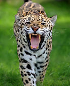 close-up of a roaring jaguar (panthera onca) running towards viewer